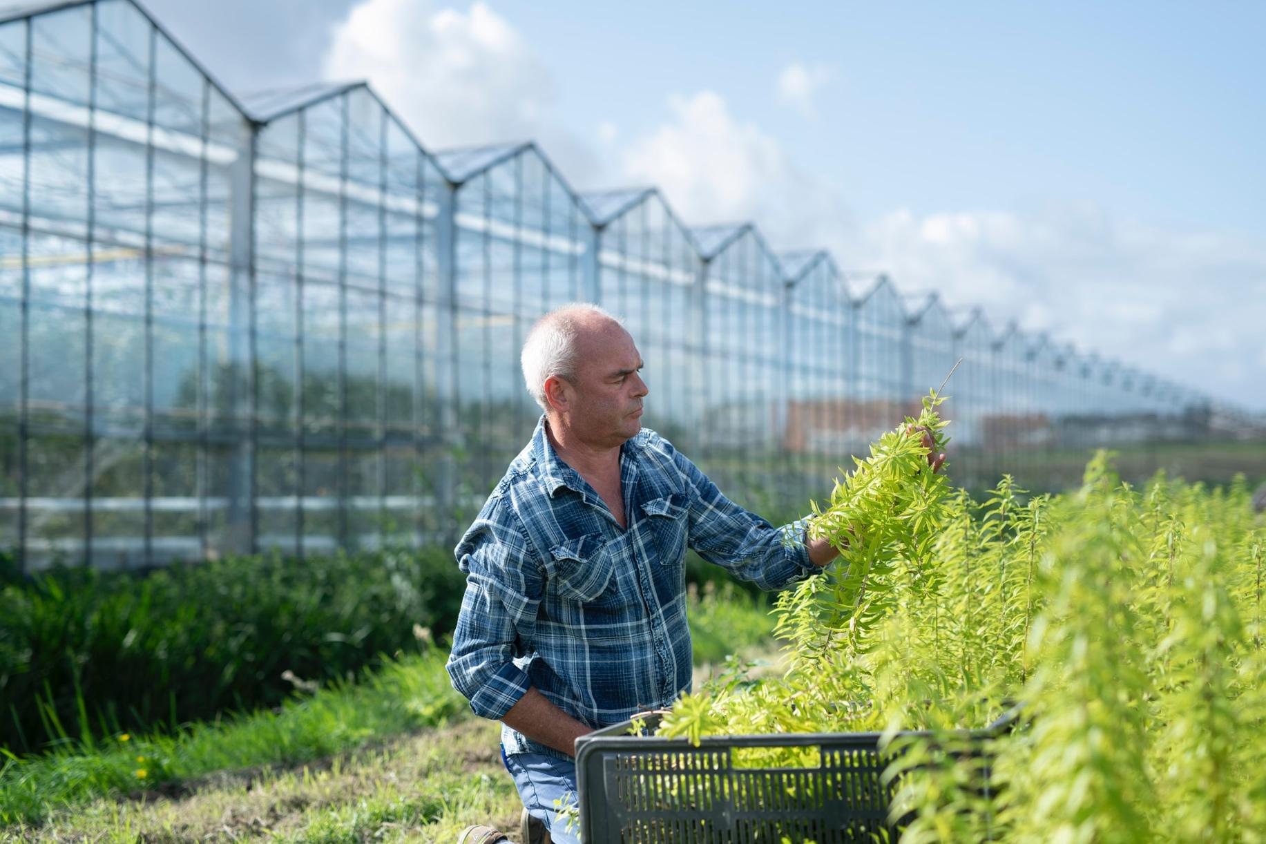 Walter oogst verveine in Osdorp.