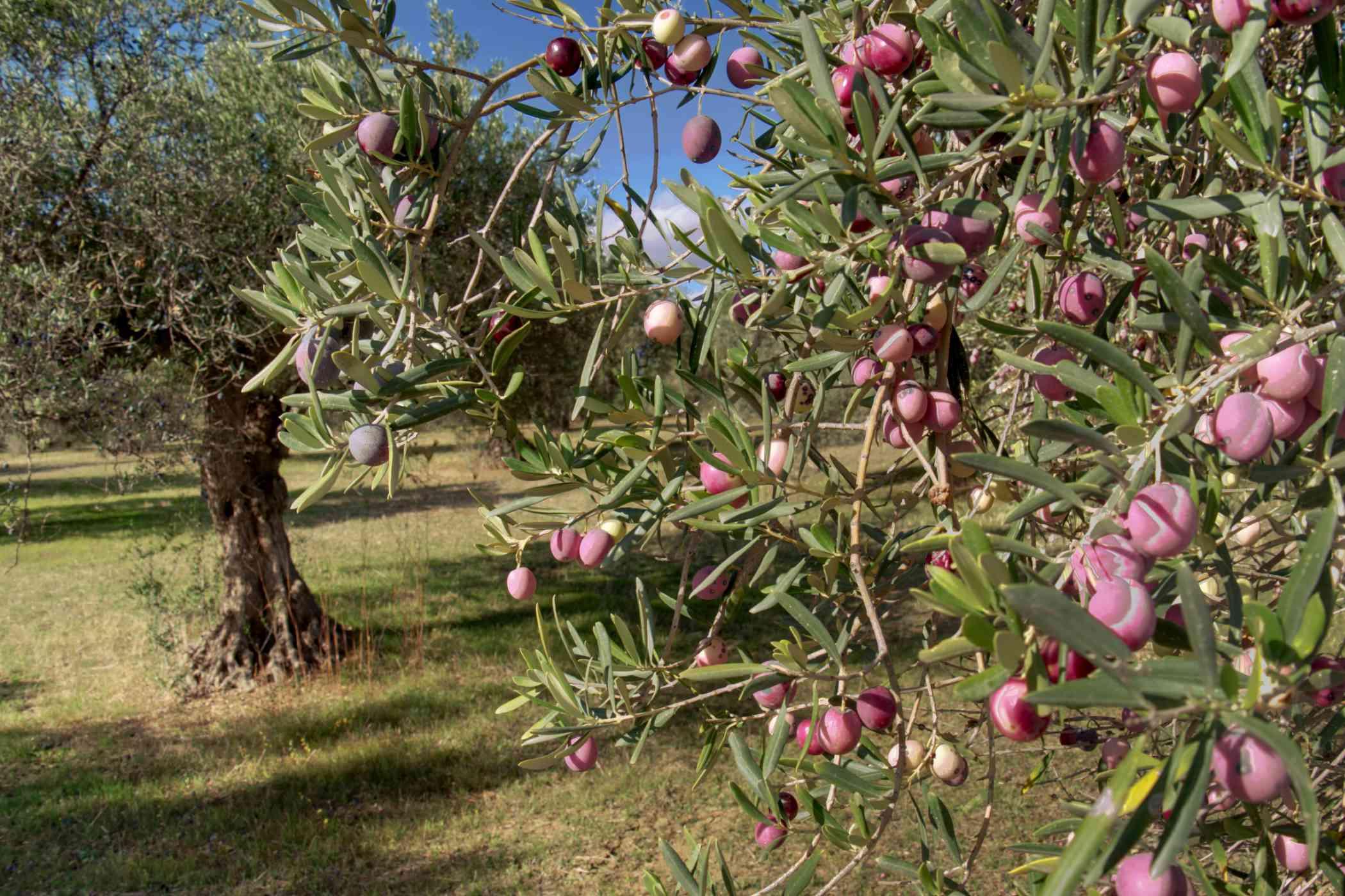 Olijfboom in Spanje.