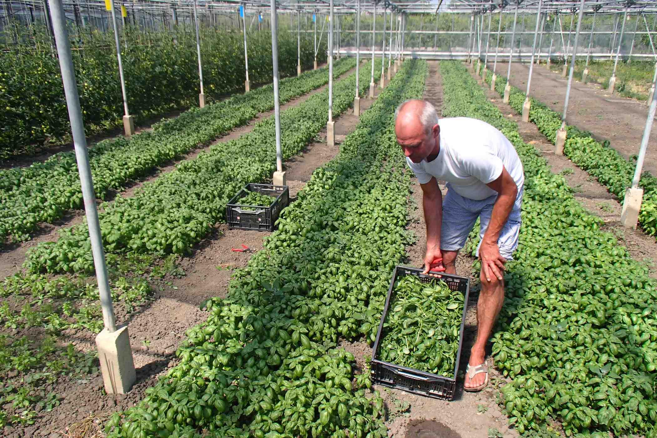 Walter oogst Basilicum in Beemster.